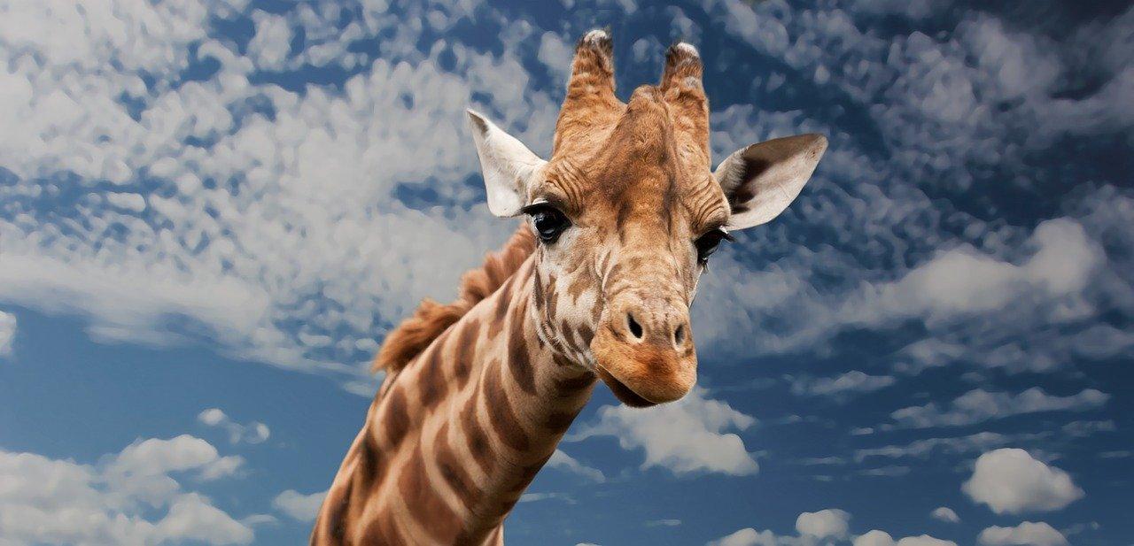 Kaj bi rekla žirafa?